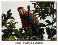 red-and-green-macaw